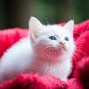 Combien ça coûte d'adopter un chaton ?